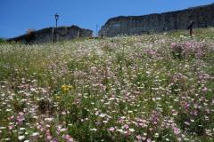 En stor äng av vackra blommor i närheten av Holy Trinity Church, Berat Castle, Berat. Den inre slottsmuren längst upp i bild.