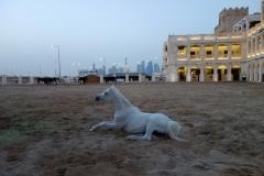 Arabiska hästar vid Falcon Souq, Doha.