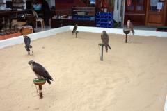 Jaktfalkar inne på Falcon Souq, Doha.