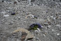 På en plats utan växtlighet fann jag detta mycket märkligt. Blommor alldeles vid Everest Base Camp!