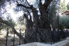 Garden of Gethsemane, Jerusalem.