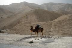 Kamel vid Highway 1 på vår färd ner till Döda havet.