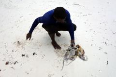 Bläckfiskfångst på Matemwe Beach, Unguja.