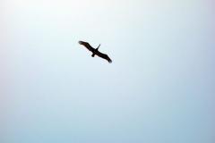 Mycket vanlig fågel längs Palomino Beach, Palomino.