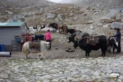 Jakar och sherpas i Gorak Shep gör sig redo för den långa vandringen ned mot Lukla.