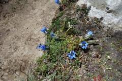 Vackra blommor längs leden mellan Dughla och Pheriche.