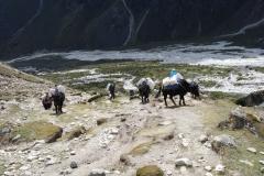 Jakar och sherpas på väg upp ur Pheriche-dalen.