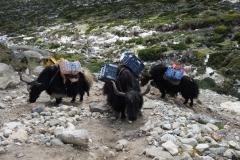 Fler jakar på väg upp ur Pheriche-dalen mot Dughla.