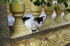Tempelkatt, Wat Ounalom, Phnom Penh.