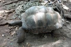 En av de många aldabrasköldpaddor som bor på Prison Island.