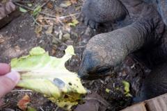 Här matar jag en en aldabrasköldpadda, Prison Island.