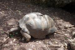 Öns äldsta aldabrasköldpadda i en liten grotta. 196 år gammal! Prison Island.