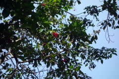 Rambutan, Dole spice farm, Unguja.