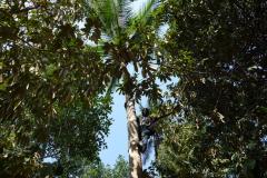 Klättring efter läskande kokosnötter, Dole spice farm, Unguja.