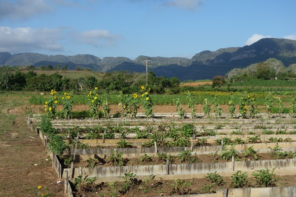 Odling av solrosor en bit utanför Viñales.