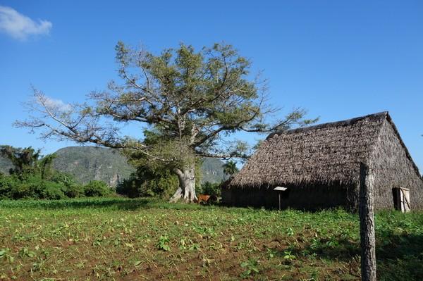 En lada för torkning av tobak uppenbarar sig, Valle de Viñales.