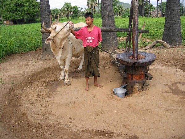 Burmesisk pojke sysselsatt med att tillverka jordnötsolja längs vägen till mount Popa.