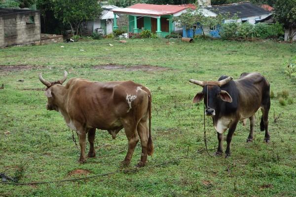 Jag träffade dessa kossor på väg tillbaka ner till Viñales från hotell La Ermita.