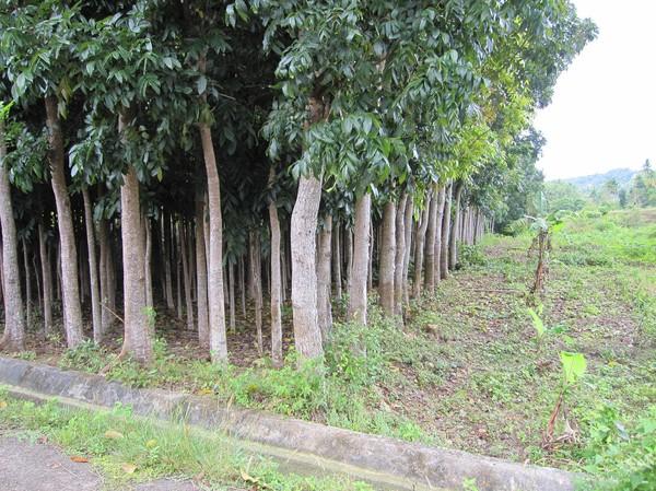 Detta skall enligt uppgift vara en plantering av mahogny träd.