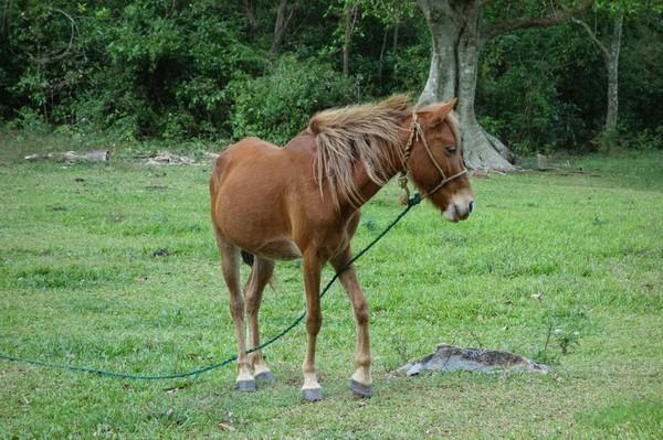 Fin häst längs vägen, Valle de Viñales.