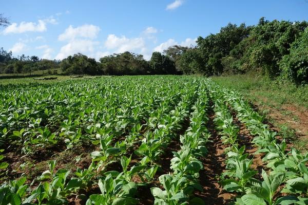 Tobaksfält i Valle de Viñales.