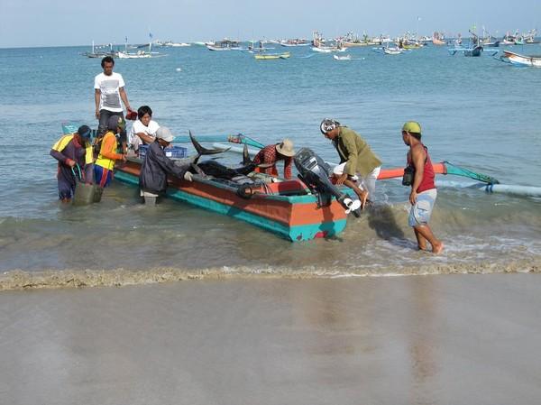 Fiskare kommer in med den fina fångsten bestående av yellowfin tuna, Jimbaran beach, Bali.