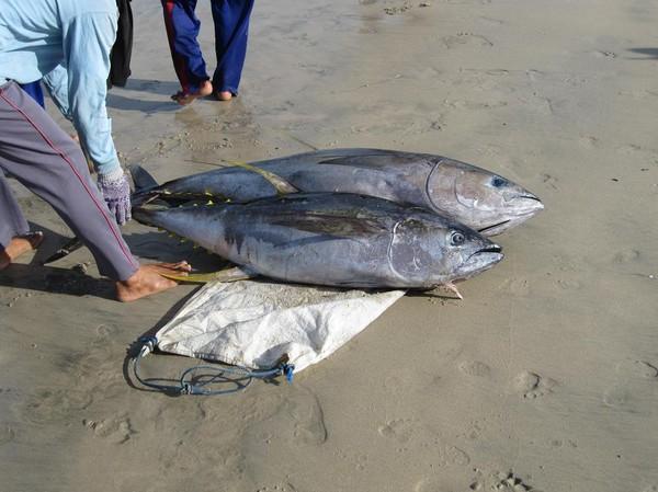 Bärgning av yellowfin tuna, Jimbaran Beach, Bali.