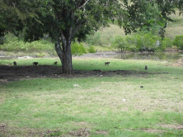 Makaker vid parkens högkvarter på Rinca island.