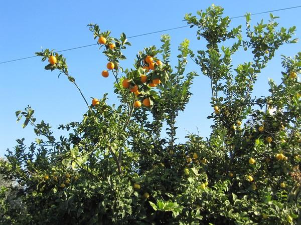 Apelsinträd som kramas med ett citronträd, Pafos.
