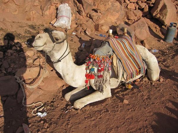 Den som vill kan rida kamel både upp och ner från berget. Den sista biten mot toppen är dock för brant för, så den får man i så fall gå. Enligt vad jag hört är det inte så skönt om man är man att välja att rida kamel på nedvägen! Mount Sinai.
