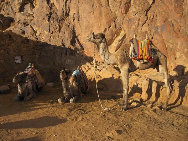 Mer kameler, Mount Sinai.