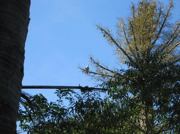 Sällsynt fågel i trädet. Minns inte namnet på den, Komodo island.