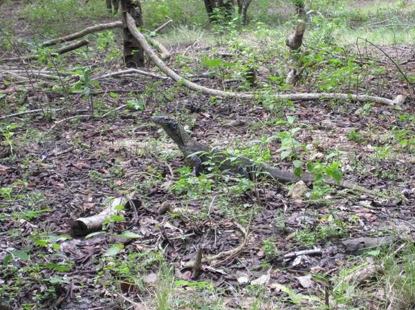 I början av trekken möts vi av denna lilla varan. Ungarna lever runt fem år uppe i träden innan de vågar sig ner på marken. Detta på grund av att varanerna är kannibaler och äter varann! Rinca island.
