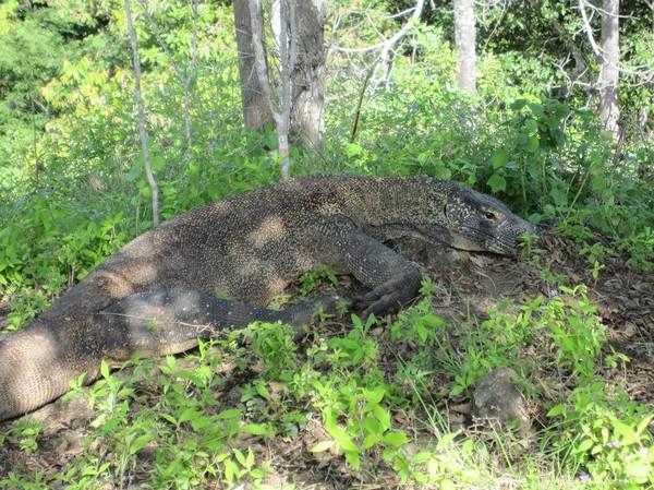 Till slut så fick vår guide syn på en Komodovaran en bit från leden, Komodo island.
