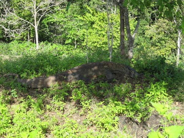 På denna bild kan man se hur väl kamouflerade Komodovaranerna är, Komodo island.