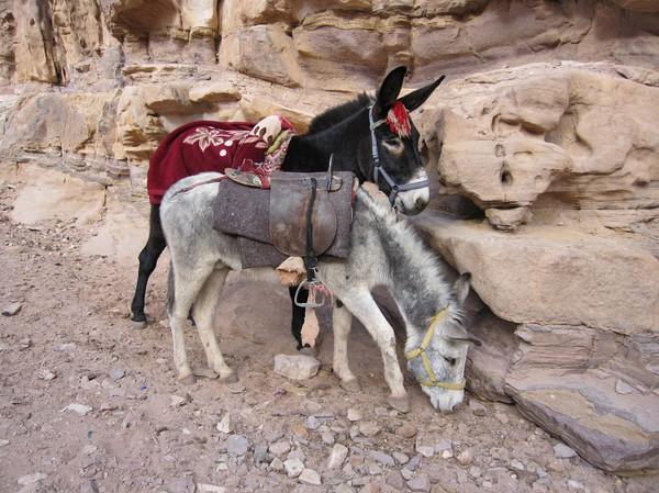 Åsnor på vägen ner från Ad-Deir (Monastery), Petra.