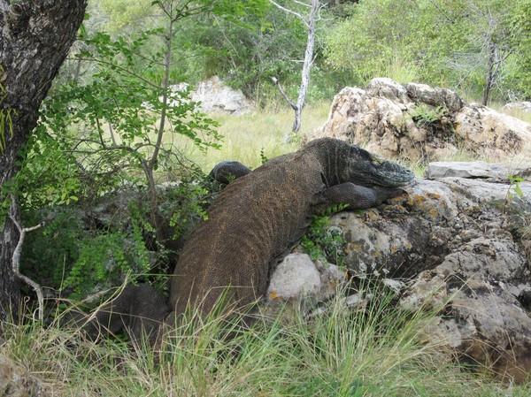Dagens höjdpunkt, en stor Komodovaran under trekken, Rinca island.