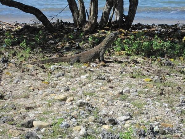 Väl tillbaka i National Park Visitor Centre var det ett par Komodovaraner som smög omkring, Komodo island.