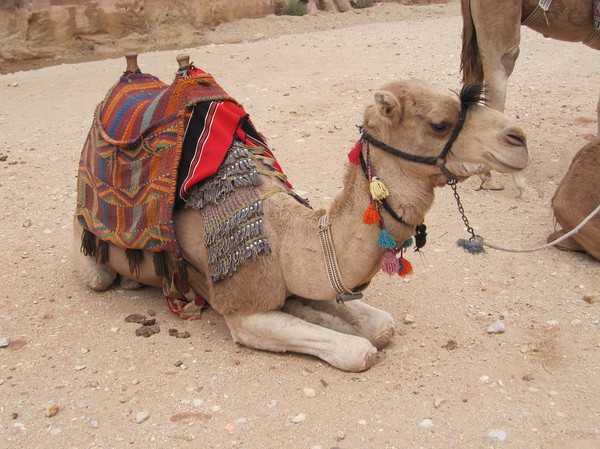 Jordansk kamel, Petra.