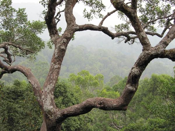 Regnskogen i Bako National Park.