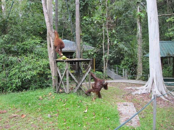 Två orangutanger utanför parkens utfodringsställe.