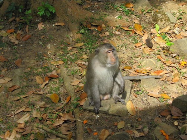 Vild makak, längs leden till Ong Dung beach.