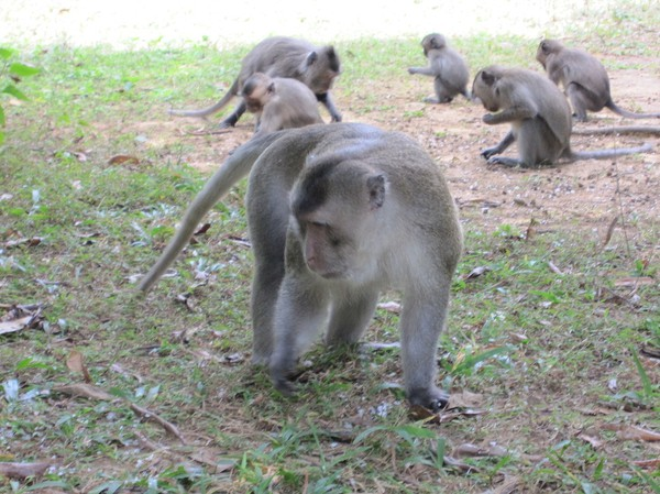 Vilda makaker, längs leden till Ong Dung beach. De är roliga att titta på, men också väldigt oberäkneliga. Här är det en ranger som har kastat ut mat till dem och lockat dem till platsen med ett mysko läte.