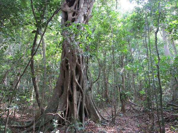 Regnskog längs leden till Ong Dung beach. Är det någonting som är fridfullt så är det när man går i regnskogen och hör alla ljuden som finns i en djungel.