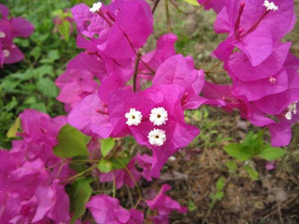 Så här ser blommorna ut. Dessutom så verkar det finnas olika färger på själva blomman. Jag har även sett orange och vita blommor.