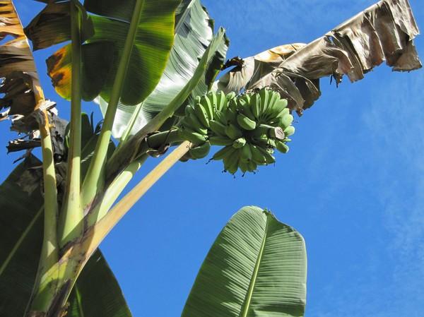 Bananer finns överallt på Siquijor, bara att plocka!