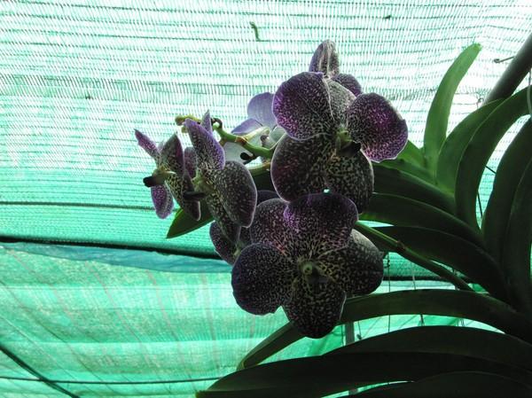 En icke namngiven orkidé art.