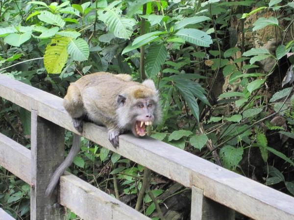 Vi råkade komma för nära denna makak, som då reagerade så här, för att sekunden efteråt även pissa på räcket!