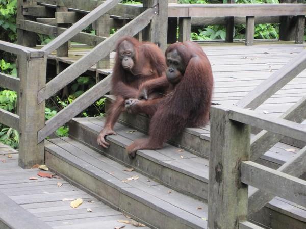 Detta var magiskt! Två orangutanger kom över räcket för att posera för oss få västerlänningar som fortfarande var kvar!