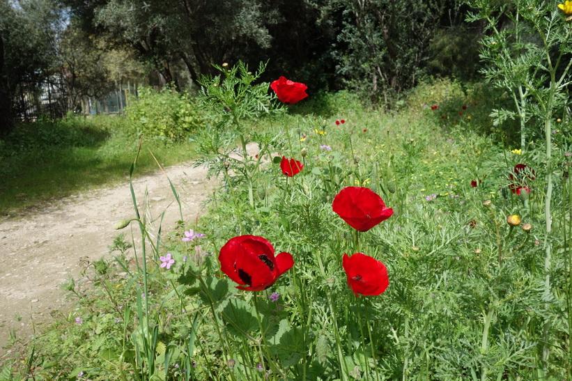 Vackra blommor längs en av stigarna i den antika Agoran, Aten.